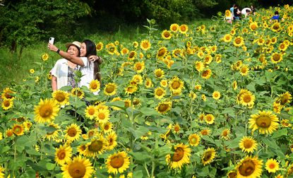 Maria Kim, of Gaithersburg, takes a selfie with her mother Amalia Mapa while visiting one of the four sunflower fields at Mckee-Bersher Wildlife Management Area in Poolesville.