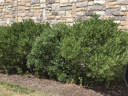 Inkberry, a native Maryland evergreen, offers a good alternative to boxwoods, Japanese holly and cherry laurels. - Original Credit: For The Baltimore Sun