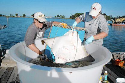 Legislation proposes banning cownose ray hunting tournaments