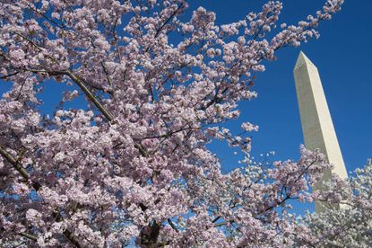 Cherry trees blossom near the Washington Monument on the National Mall in Washington in 2015. The trees are expected to reach peak bloom between March 14 and March 17 this year.