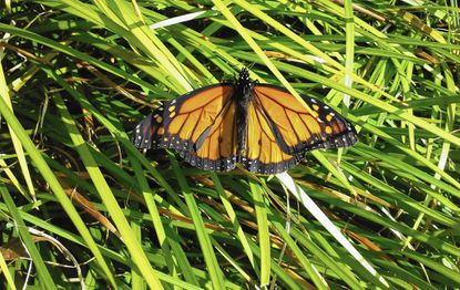 Like all natural things, humans can be friends or foes of the monarch butterfly, often both.