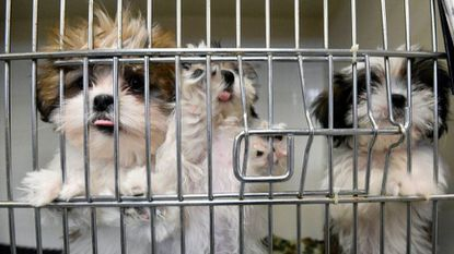 Just Puppies is one of a handful of stores that sell puppies in Maryland. Kim Hairston/Baltimore Sun.