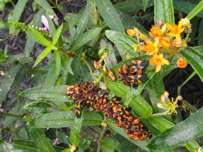 It's not uncommon for bugs and aphids to infest milkweed at this time of year. - Original Credit: For The Baltimore Sun