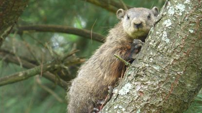While better know for burrowing, groundhogs can climb, too.