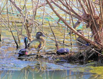 A trio of Wood Ducks stays relatively hidden in the marsh area at the Eden Mill Nature in Center.