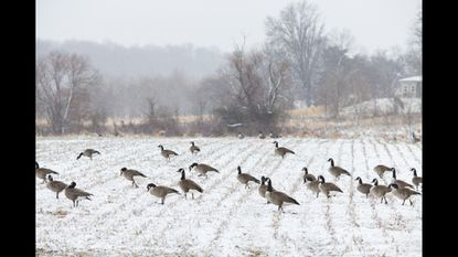 Snow lightly blankets a field with dozens of Canada Geese on Rt. 144 in Ellicott City on Monday, Jan. 26, 2015.