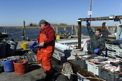 Tilghman Island watermen unload their last catch of rockfish for the season in this 2015 file photo.