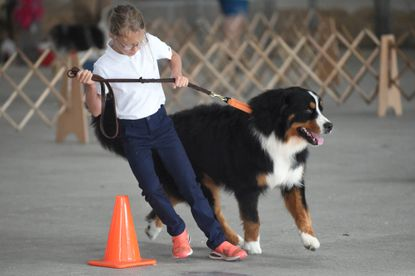 Nadia Grothe, 9, of Hampstead works on guiding Gus, a 1-year-old Bernese Mountain Dog, around cones in the obedience ring during the 4-H & FFA Club Dog Show at the Ag Center's Shipley Arena on Sunday, July 25, 2021.