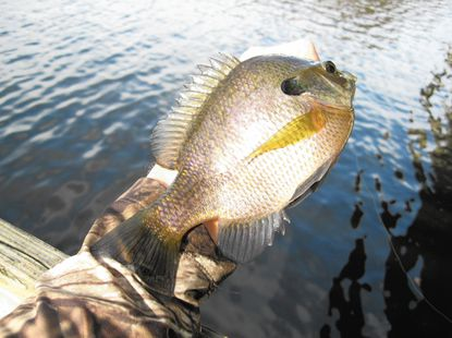 Big tidal bluegills were the catch of the day at Marshyhope Creek as the tides caused fish to position behind and next to structure.