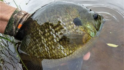 Most fish, including bluegills, have spawned late this year due to a variety of factors. This giant female bluegill, full of eggs, was caught and released June 21, several weeks later than traditional spawning times.