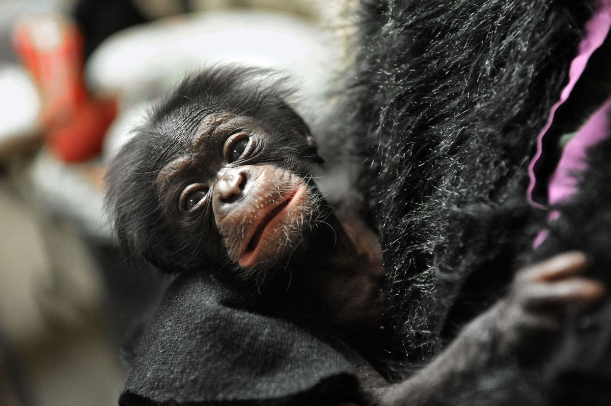 Neglected by mother, baby chimp from Baltimore starts new