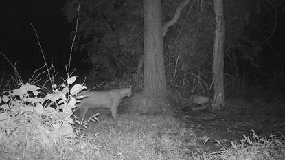 A large feline captured on camera in Sykesville was probably a bobcat, according to the Maryland Department of Natural Resources.