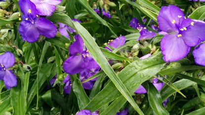 Garden Q&A: Spiderworts come in all shades of purple, pink, red, white