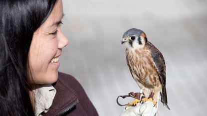 A 4-year-old American kestrel perched on U.S Fish and Wildlife Service's Jennifer Chin outside of the National Wildlife Visitor Center at the Patuxent Research Refuge in Laurel on Wednesday, Dec. 6, 2017.