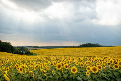 Clear Meadows Farm in White Hall planted 300 acres of sunflowers that make for quite a view when they bloom. Blooming starts in early summer and peaks in late August or early September.