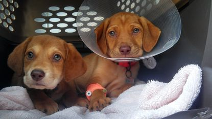 Flapjack and Penguin are being treated for parvo