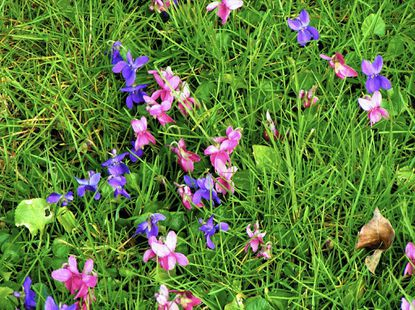 For wild violets in a lawn, the simplest solution is let them be and enjoy the flowers. Second is hand-weeding. Note that the entire plant and runners must be removed. (Tom Cook/The Morning Call).