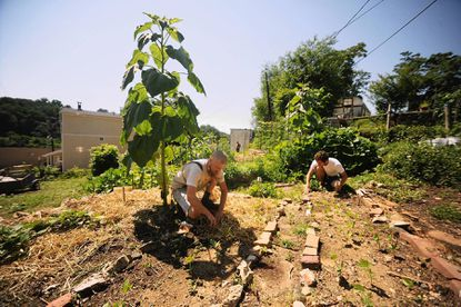Bill Thomas works in the shade of a tall sunflower to clear weeds from a garden bed with Jon Smeton, right, a Johns Hopkins intern from Bel Air, at the Ash Street Garden, a community garden run by Baltimore Free Farm, in Hampden on June 21.