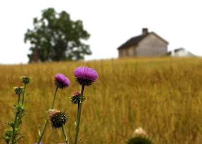 Thistles grow in a field near the rebuilt Henry House, background, at Manassas, Va., the site of the first major battle of the Civil War in 1861 and a second battle in 1862. Nearby is a monument erected in 1865 by Union soldiers to honor their fallen compatriots.