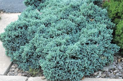 Plant of the week: As ground cover or shrub, blue star juniper performs like a landscape champion.