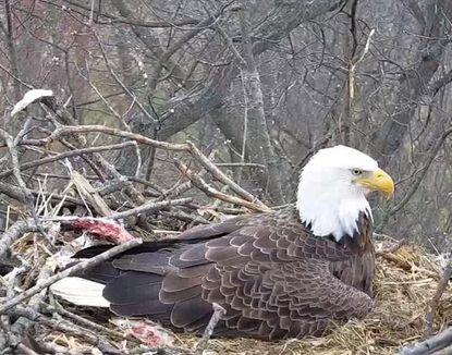 The Codorus Eagle Cam shows a live look at an eagle nest at Codorus Park in Hanover, Pennsylvania.
