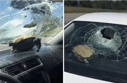 A 71-year-old woman was injured when a turtle smashed through her car's windshield on Interstate 95 near Port Orange, Fla, on Wednesday. Pictured above, a similar incident in Deltona, Fla., in 2016.