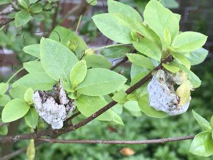 The fungal exobasidium galls puff up on some azaleas, particularly after a wet spring. They are not harmful.