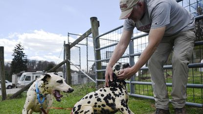 Dalmatians like these two that were among the dogs rescued alive from squalid conditions in a house on Black Rock Road in Hampstead April 5 and are shown with volunteer Charlie Twigg at the Humane Society of Carroll County, fall into the non-sporting class of dog breeds.