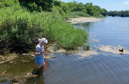 Elvia Thompson of Annapolis Green could not see her feet any deeper than 19.5 inches in College Creek at St. John's College's living shoreline. GreenGive Partners Follow 33-Year Tradition & Wade-In at Annapolis Creeks to Measure Water Clarity