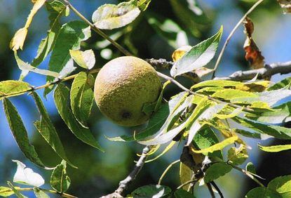 Quarantine ordered for walnut wood in Baltimore City and
