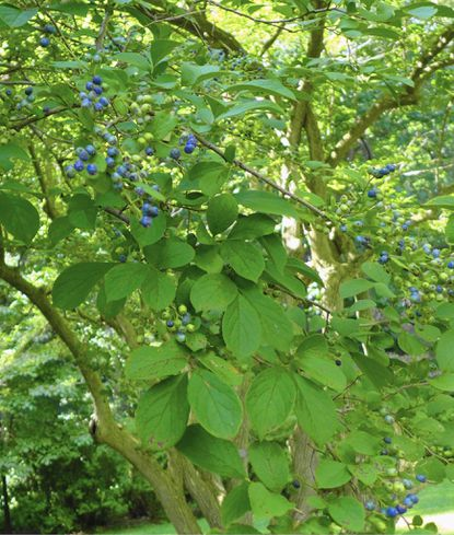 This week's plant of the week is sapphireberry, a fruiting shrub that grows blue berries in the fall.