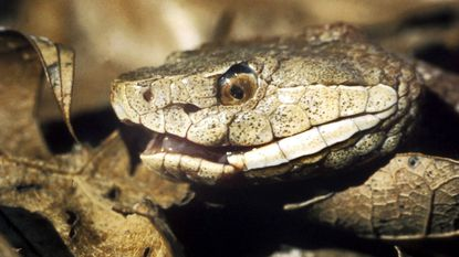 The copperhead is one of two venomous snakes native to Maryland.