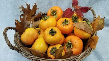 Asian persimmons may be refrigerated for several weeks.