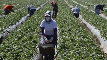 File photo. Agricultural workers harvesting strawberries at a farm near Oxnard, California.