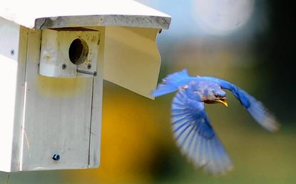 The male bluebird flies out of the bird house at Lake Montebello after feeding his five babies inside the house.
