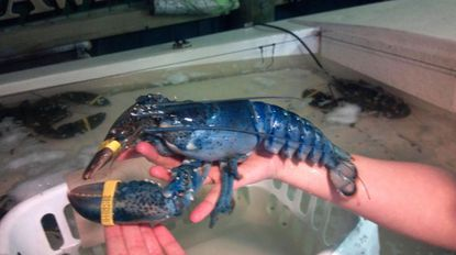 A rare blue lobster caught off Ocean City by Capt. John Gourley.