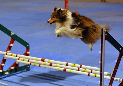Dog agility contests are part of the World of Pets Expo, taking place Friday, Saturday and Sunday, Jan. 25, 26, 27 at the Maryland State Fairgrounds.