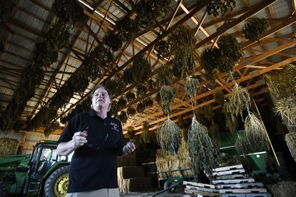 Tom Bolton of the Mid Atlantic Hemp Company shows some of the fall harvest of hemp plants as they hang to dry in a barn in Westminster March 4, 2020.
