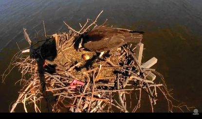 One out of three eggs remains in the nest of Tom and Audrey, a Kent Island osprey couple, after a crow attack on May 13.