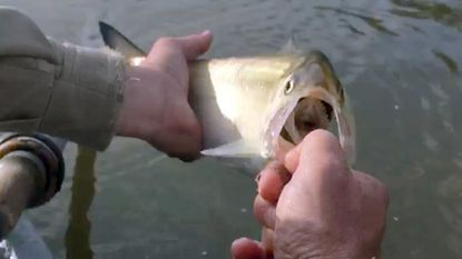 Chris Dollar: Shad is game fish whose size belies its fight