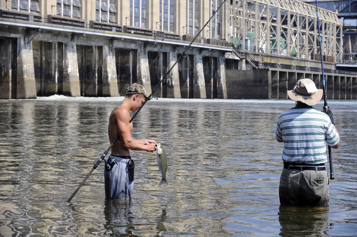 Dammed, drugged, poisoned: Shad, eels and smallmouth bass struggle to survive in Susquehanna River