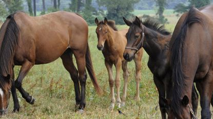 At Thornmar Farm, Foolish Kisses, left, grazes with her filly by Big Brown at her side as Argentesque's colt by Artie Shiller stands by his mom in 2011.