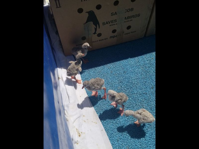 Maryland Zoo helps rescue South African flamingo chicks - Baltimore Sun