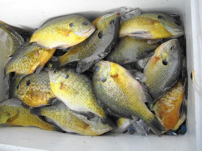Fresh panfish fillets that will fuel a fish fry, and soon!