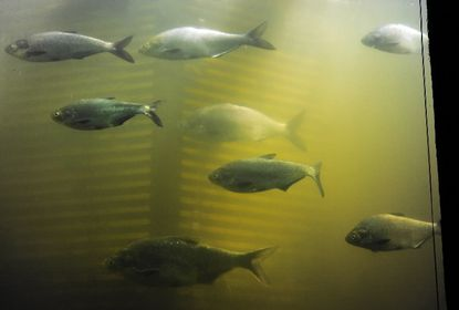 Gizzard shad, an unsavory relative of American shad, swim past viewing window at Conowing dam fish lift. While other Chesapeake Bay rivers are seeing strong rebounds in American shad, only about 10,000 of them used the fish lift on the lower Susquehanna River, an all-time low.