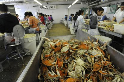 Seasonal workers have been coming to pick crabs on Maryland's Eastern Shore since the 1980s.