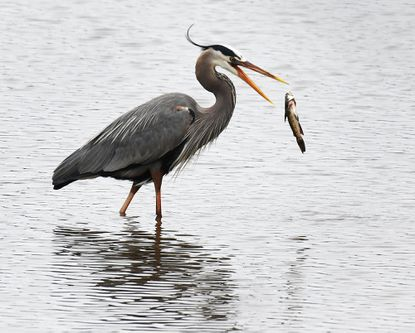 A great blue heron hunts on the South River, just off Defense Highway in Davidsonville, catching fish and flying around.