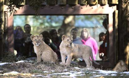 Visit the new cubs at The Maryland Zoo In Baltimore