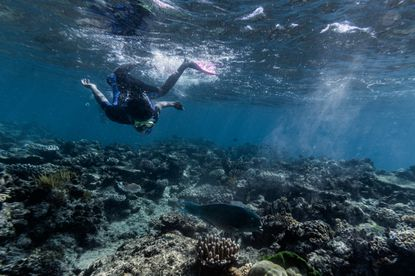 FILE -A snorkeler and parrot fish swim on the Great Barrier Reef in Australia, Aug. 8, 2019. The Great Barrier Reef, one of the earth's most precious habitats, lost half of its coral populations in the last quarter-century, a decline that researchers in Australia said would continue unless drastic action is taken to mitigate the effects of climate change.