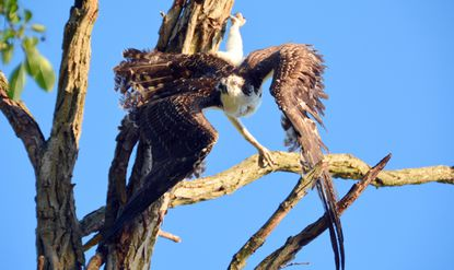 Volunteers and firefighters rescue an injured osprey it from a tree last weekend. The bird's talon was caught in fishing line enmeshed in the tree along the shoreline on Greenbury Point on the Severn River. The fledgling bird was taken to a raptor recovery center but succumbed as a result of the stress from struggling in the tree before being rescued.